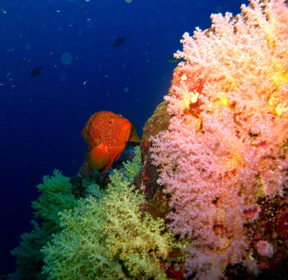 Ein Zackenbarsch in den Korallenbänken
