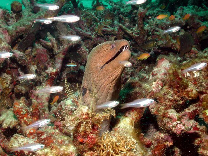 Eine neugierige Muräne vor den Similan Islands