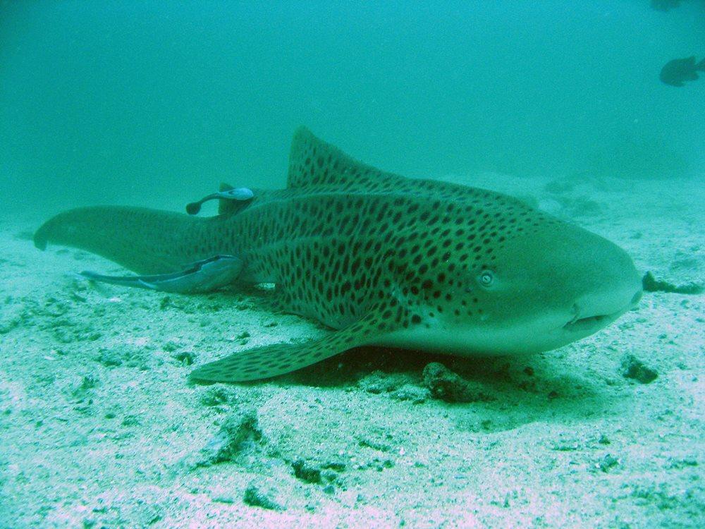Ein Leopardenhai vor den Similans